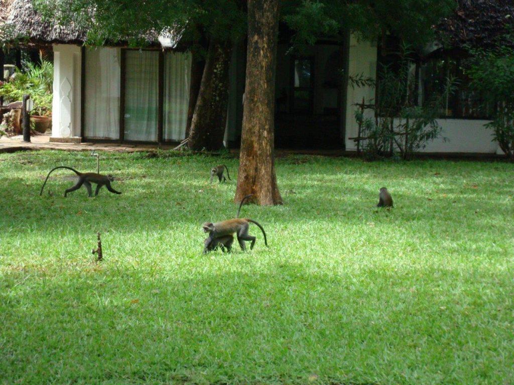 Małpy w Kenii