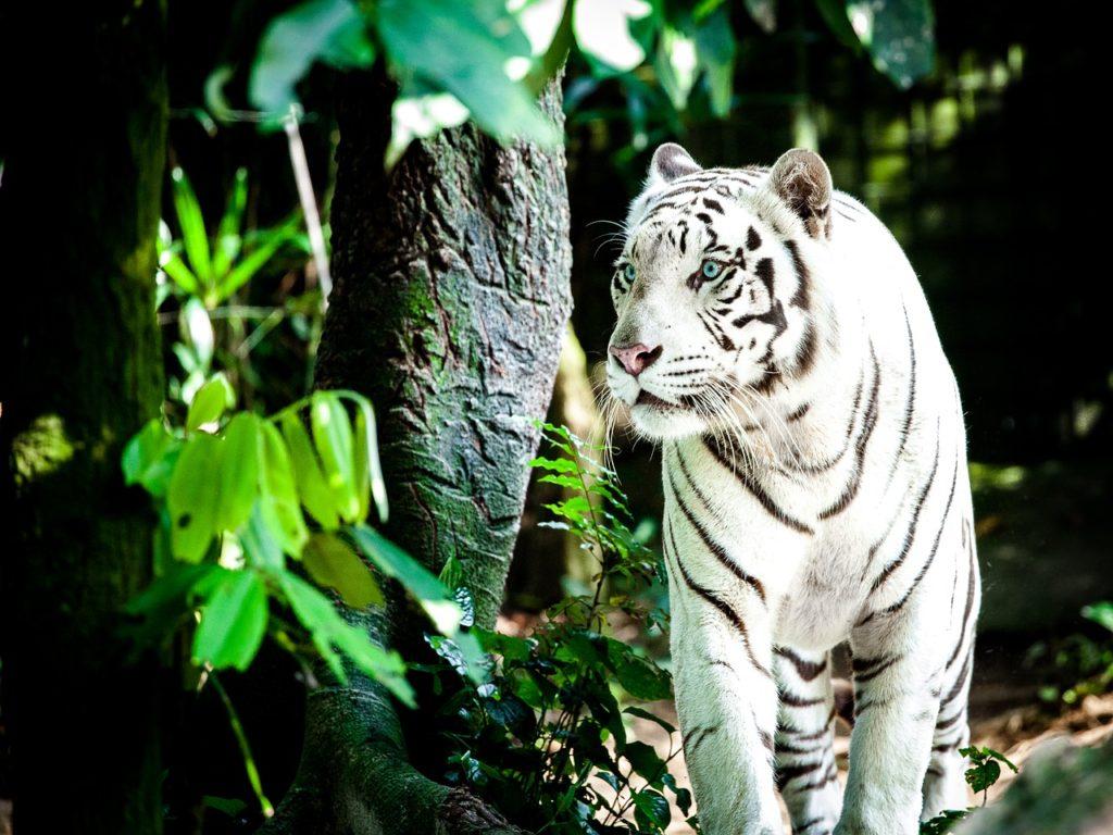 Singapur, zoo, biały tygrys, turystyka bez barier, wózek elektryczny